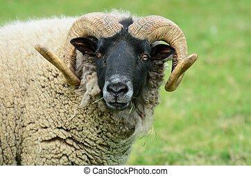 Ram looking at camera