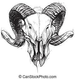 ram, schedel