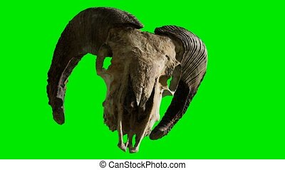 ram skull at green chromakey background