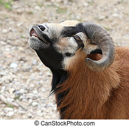 ram with large curved horns - young ram with large curved...