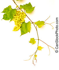 rama, de, enredadera de uva