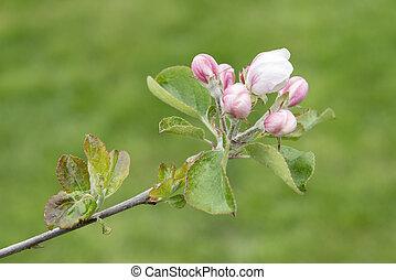 rama, de, manzano, en, primavera