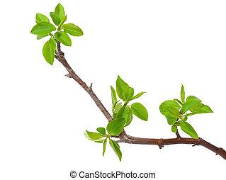 rama, manzano, con, primavera, brotes, aislado, blanco