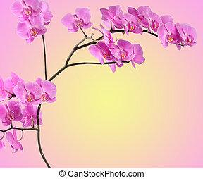 rama, orquídea rosa, en, gradiente
