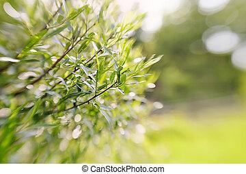ramas, bokeh, plano de fondo, willow., verde