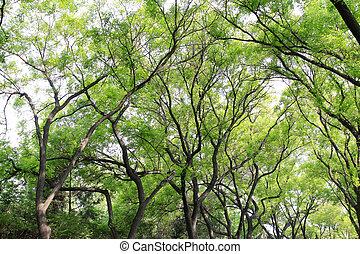 ramas, chino, erudito, árbol