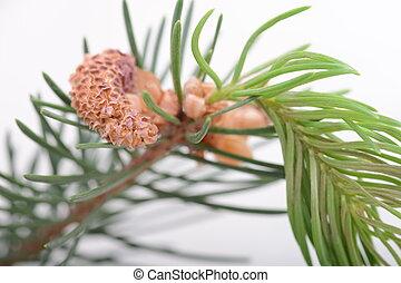 ramas, fir-needle, árbol, textura, plano de fondo, ...