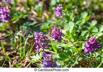 ramassage, fleur, corydalis., nectar, cava, pourpre, corydalis, fleurir, printemps, abeille, flowers., forêt, polen, fleurs sauvages
