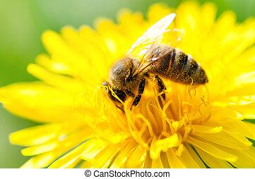 ramassage, pollen, gros plan, fleur, jaune, abeille, miel