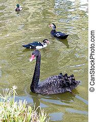 Ramat Gan Park Black Swan and Duck 2010