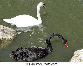 Ramat Gan Park White and Black swans 2012