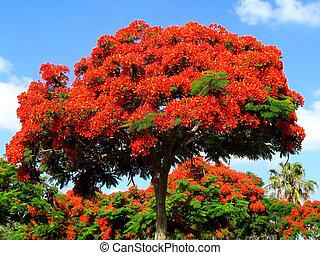 Ramat Gan Wolfson Park red acacia 2011 - Red acacia in Edith...