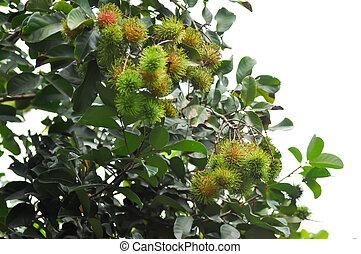 Rambutan, Nephelium lappaceum or Sapindaceae or Rambutan tree and ranbutan seed
