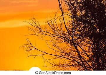 rami, dorato, silhouette, tramonto, albero