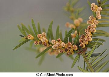 ramita, flowers., macho, taxu, tejo