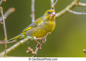 ramita, macho, greenfinch