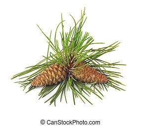 ramo, árvore, isolado, pinho, fundo, christmas branco, cones