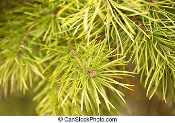 ramo, árvore pinho, jovem