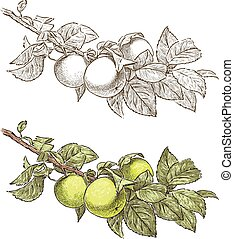 ramo, albero, mela