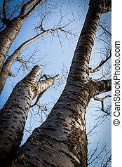 ramo albero secco, su, cielo blu, fondo