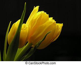 ramo, amarillo, tulipanes