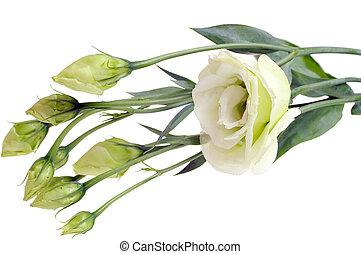 ramo, blanco, rosas, aislado