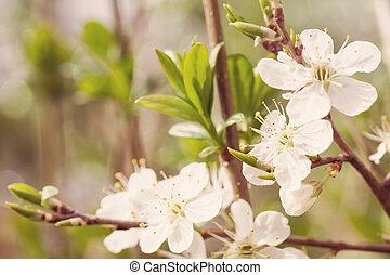 ramo, ciliegia, effetto, filtro, retro, fiori