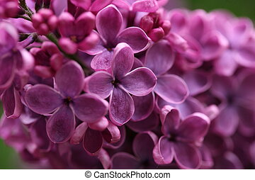 ramo, com, primavera, lilás, flores