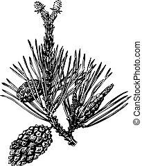 ramo, cones pinho