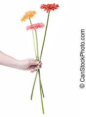 ramo, daisy-gerbera, blanco, aislado, mano