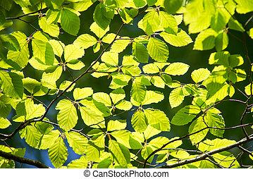 ramo, de, árvore faia, com, folhas