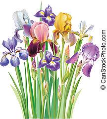 ramo, de, iris, flor
