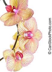 ramo, de, orquídea, flor