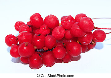 ramo, de, vermelho, maduro, schisandra, isolado