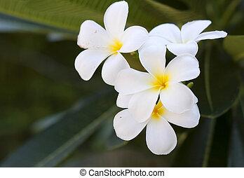 ramo, di, fiori tropicali, frangipani, (plumeria)