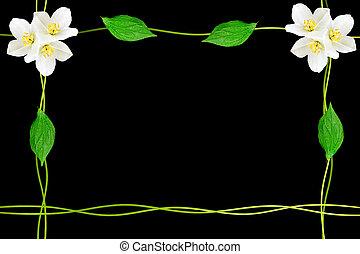 ramo, di, gelsomino, fiori, isolato, su, nero, fondo., primavera