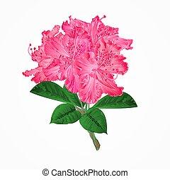 ramo, flores, rhododendrons, vetorial, cor-de-rosa