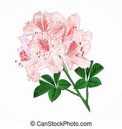 ramo, flores, rhododendrons, vetorial, luz, vindima, cor-de-rosa