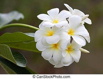 ramo, flores tropicais, frangipani, (plumeria)