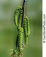 ramo flowering, noce