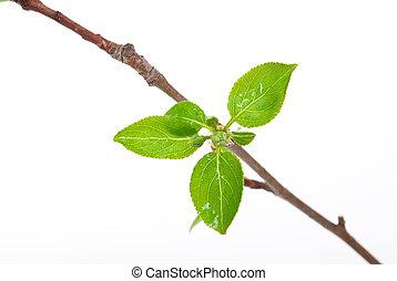 ramo, macieira, com, primavera, brotos, isolado, branco