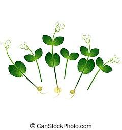 ramo, pea., plants., plano de fondo, blanco, microgreens