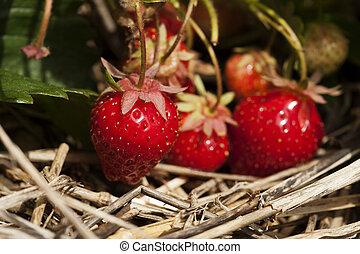 ramo, planta, fresas, maduro, ahorcadura
