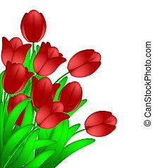 ramo, rojo, tulipanes, flores, aislado, blanco, plano de fondo