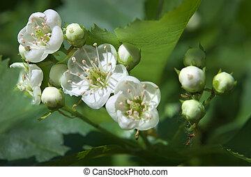 ramo, selvatico, fioritura, apple-tree, primavera