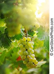 ramo uvas, en, vid, en, vineyard., superficial, dof.