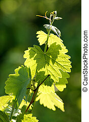 ramo, uvas