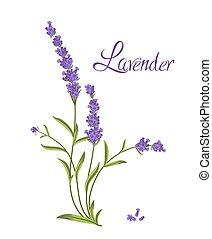 ramo, vector, flores violetas, ilustración, lavanda