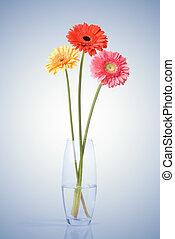 ramo, vidrio, daisy-gerbera, florero