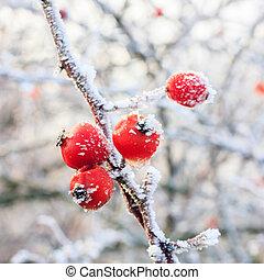 ramos, inverno, congelado, geada, fundo, coberto, bagas,...